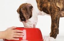 Как правильно кормить щенка крупной породы