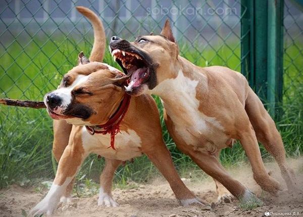 Собаки сцепились в драке