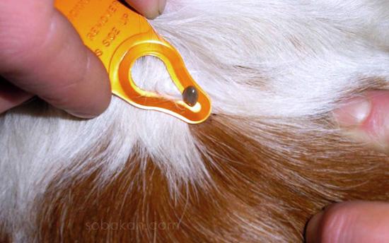 Как удалить клеща у собаки