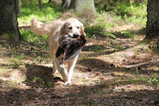Охотничий инстинкт у собаки