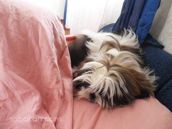 Ши-тцу спит