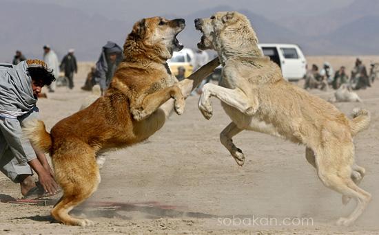 алабаи в собачьих боях