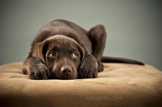 Воспитание щенка в семье