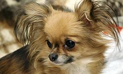 Чихуахуа – собака маленькая, но с большим сердцем