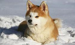 Акита — порода собак воинов. Акита-ину