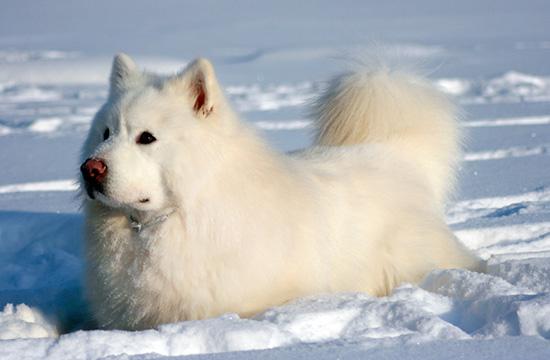 Белый маламут в снегу