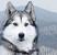 Порода собак — лайка
