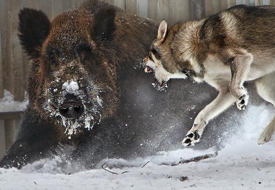 Лайка нападает на дикого кабана