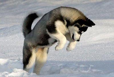 Хаски резвится в снегу