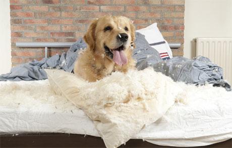 Непослушная собака уничтожает постель хозяев