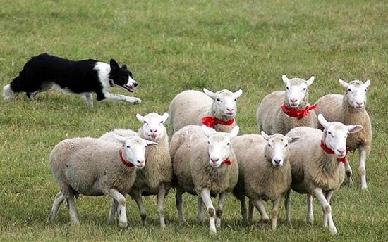 Бордер-колли и овцы