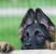 Как отучить щенка немецкой овчарки кусаться