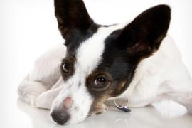 Лишай и чесотка собак — лечение