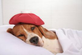 Как лечить простуду у собак