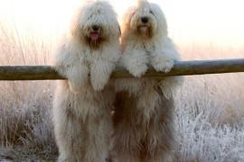 Бобтейл – порода собак