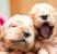 Как выбрать и воспитать щенка спаниеля