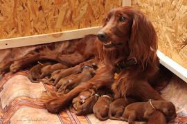 Чем кормить собаку во время беременности и после родов