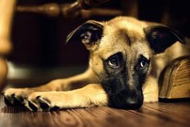 Чумка у собак — лечение