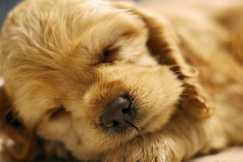 Уход за щенком спаниеля