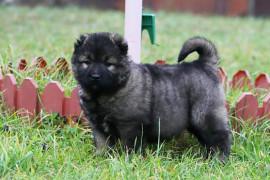 Чем кормить кавказскую овчарку (щенка)
