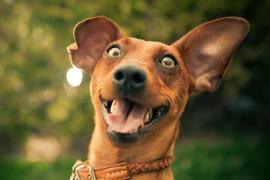 Курс послушания «Счастливая собака»