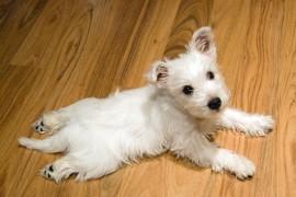 Вест-хайленд-вайт-терьер — собака-энерджайзер