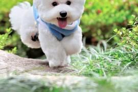 Бишон фризе – пушистый комочек счастья