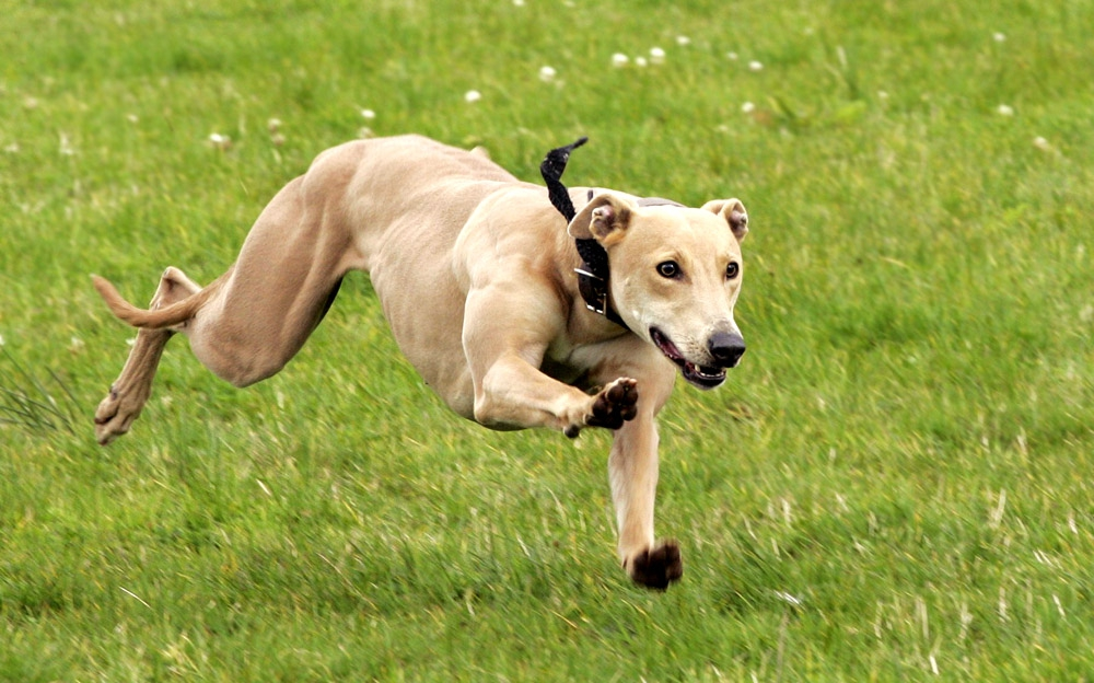 b_0_650_00___images_dogs_lurcher-2
