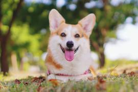 Вельш-корги — идеальная порода для детей, домашних условий и начинающих собаководов